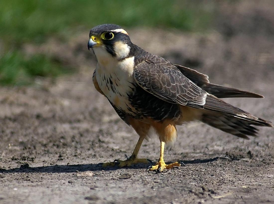 Falco_femoralis